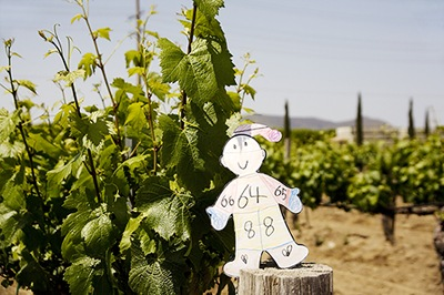 Flat Stanley Testing the Grapes