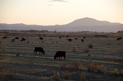 Cows Grazing on the Delta
