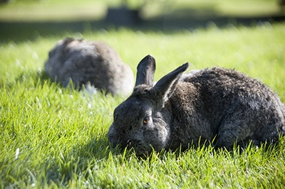 Grass Munching Bunnies